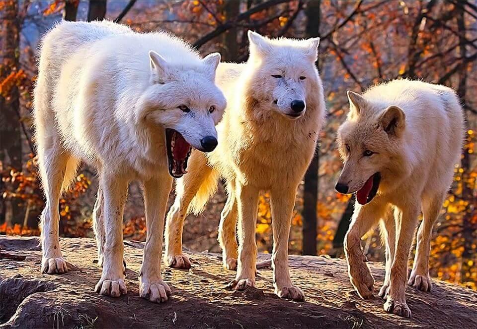 Ir a la pagina de la plantilla Dos lobos riendose y uno serio.