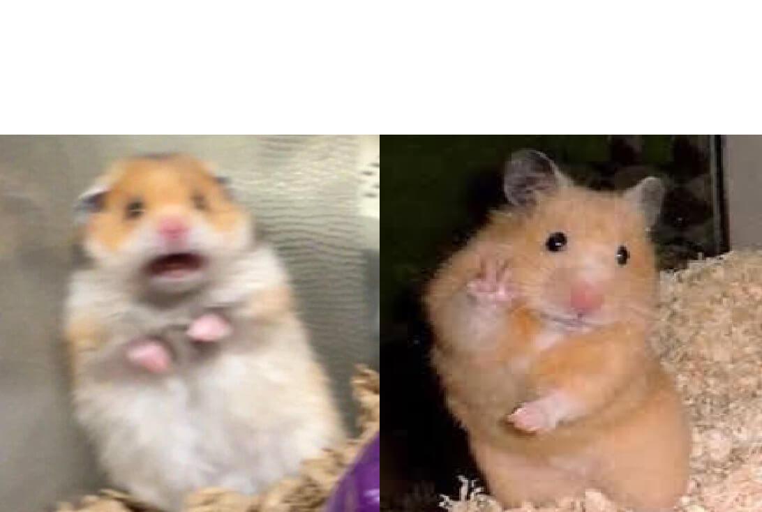 Ir a la pagina de la plantilla Hamster Asustado | Hamster tranquilo.