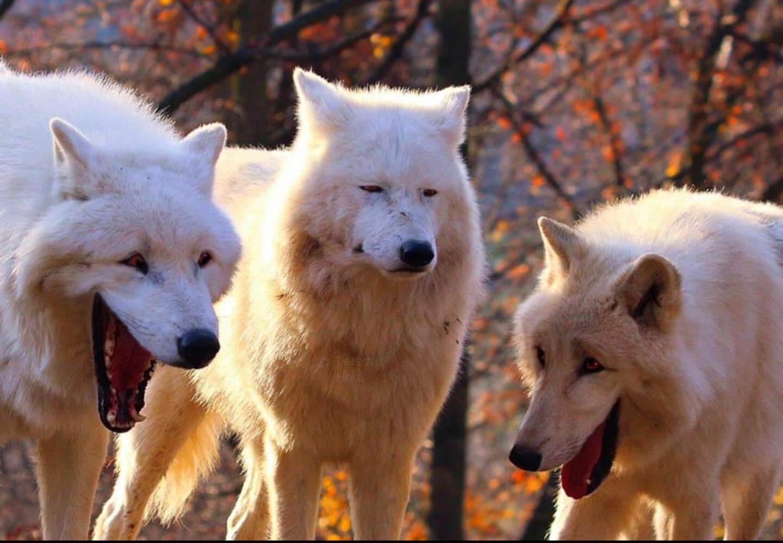 Plantilla de Lobos blancos riendose