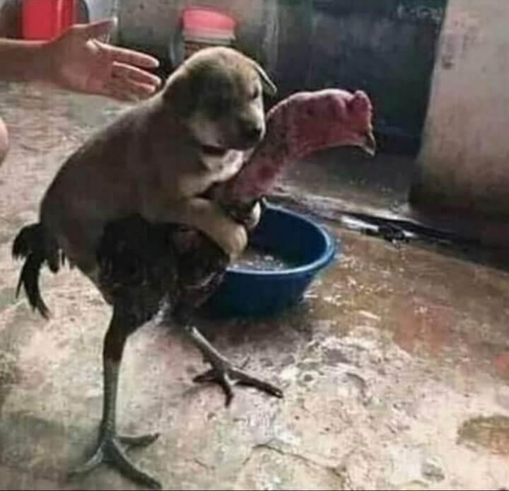 Ir a la pagina de la plantilla Perro subido en un gallo.